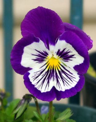 My first pansy of spring.