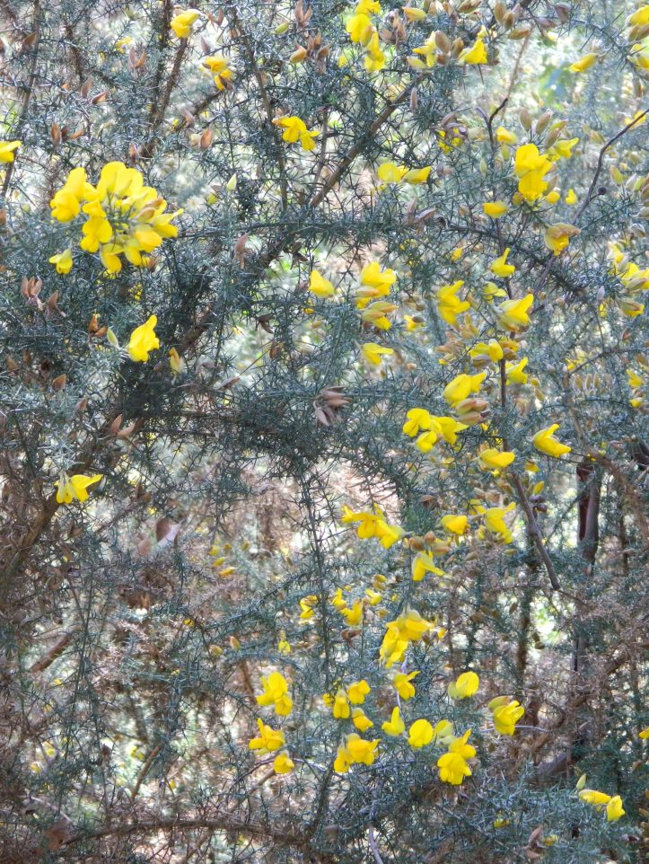 Yellow blooms on a tree