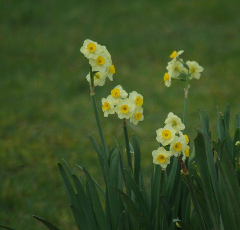 Jonquils Spring 2016