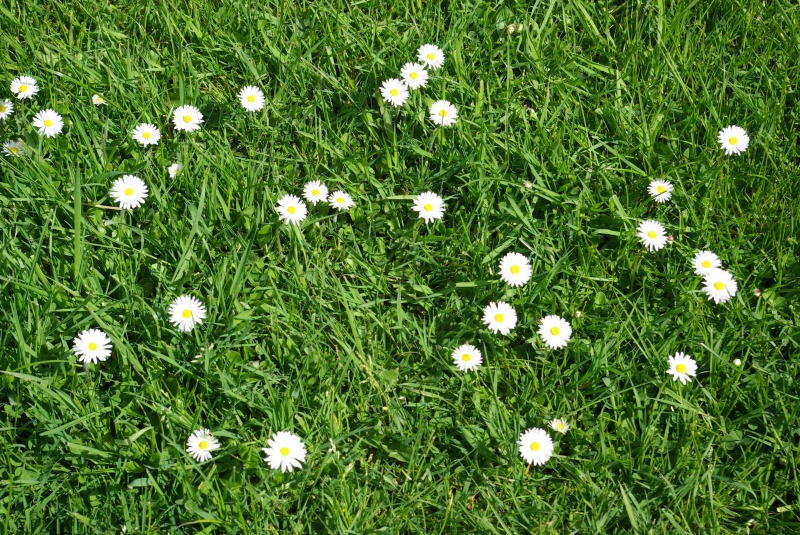 Daisies in the lawn.