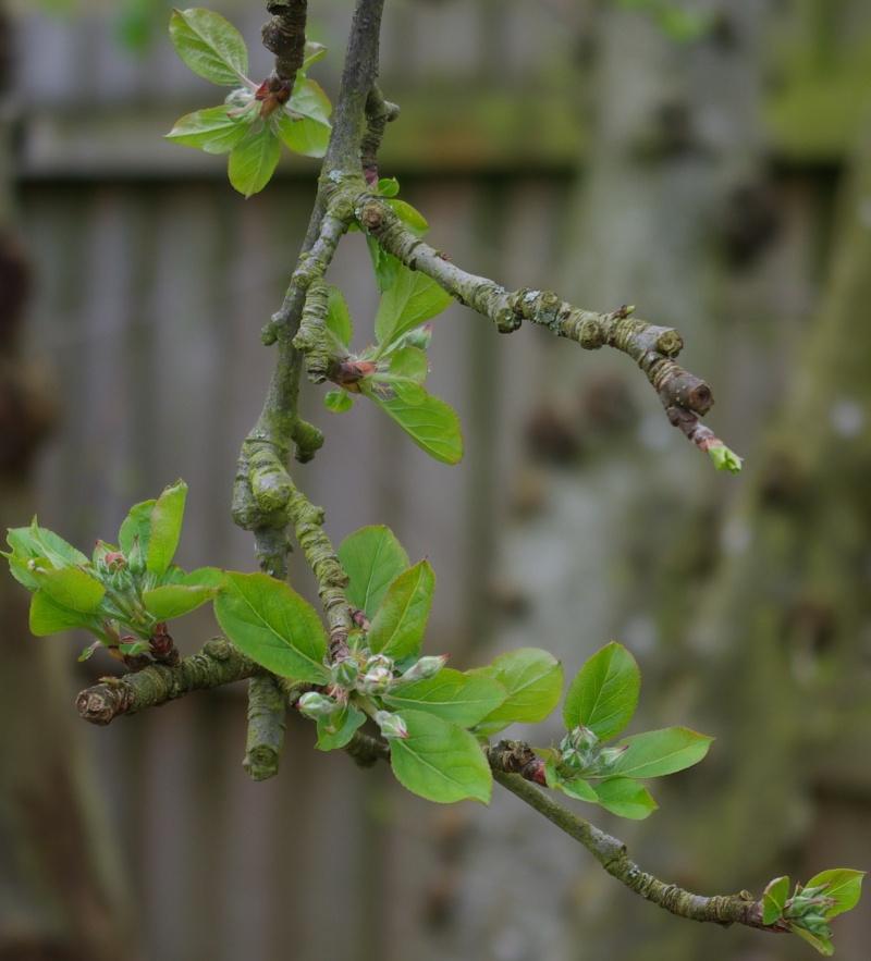 Leaves on the apple tree