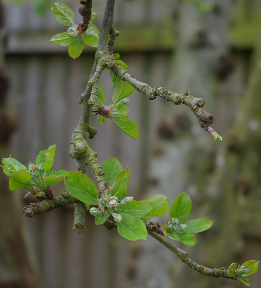 Leaves on the apple tree