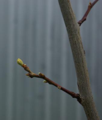 The Gleditsia awakes from its winter sleep.