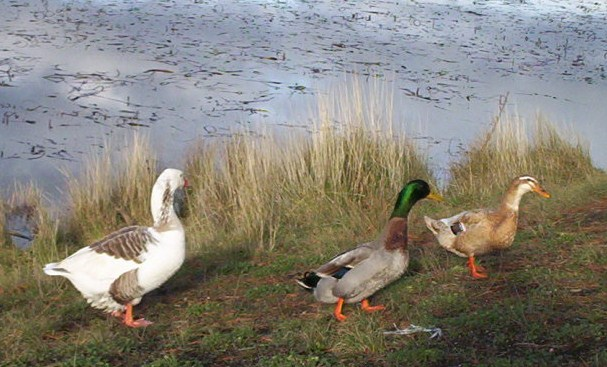 ducks and goose