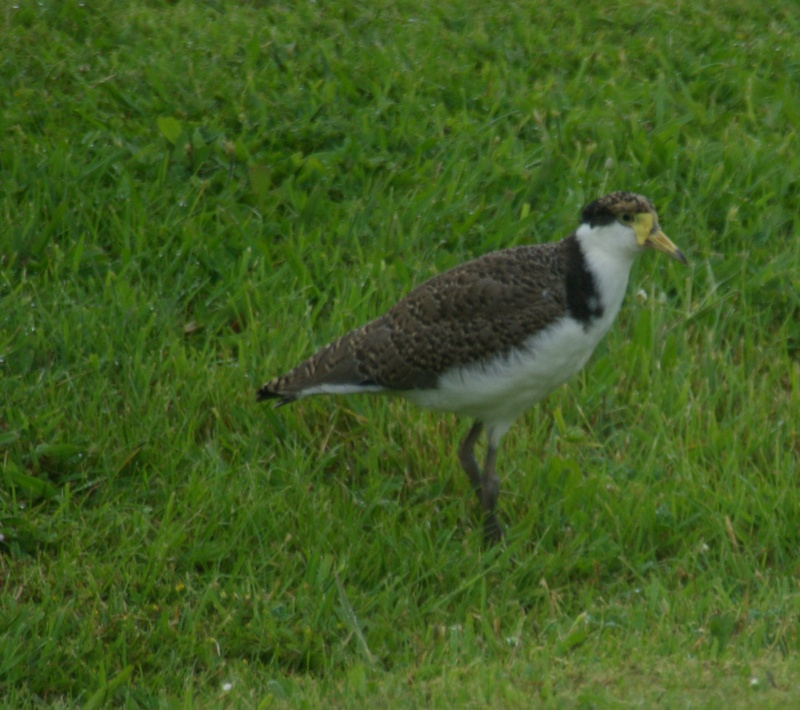 Plover (Masked Lapwing)