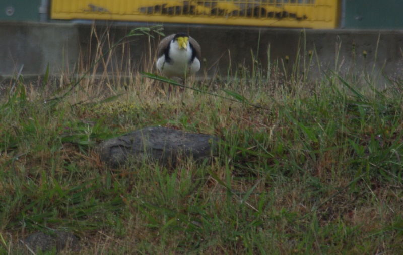 Plover (Masked Lapwing) watching over the others.