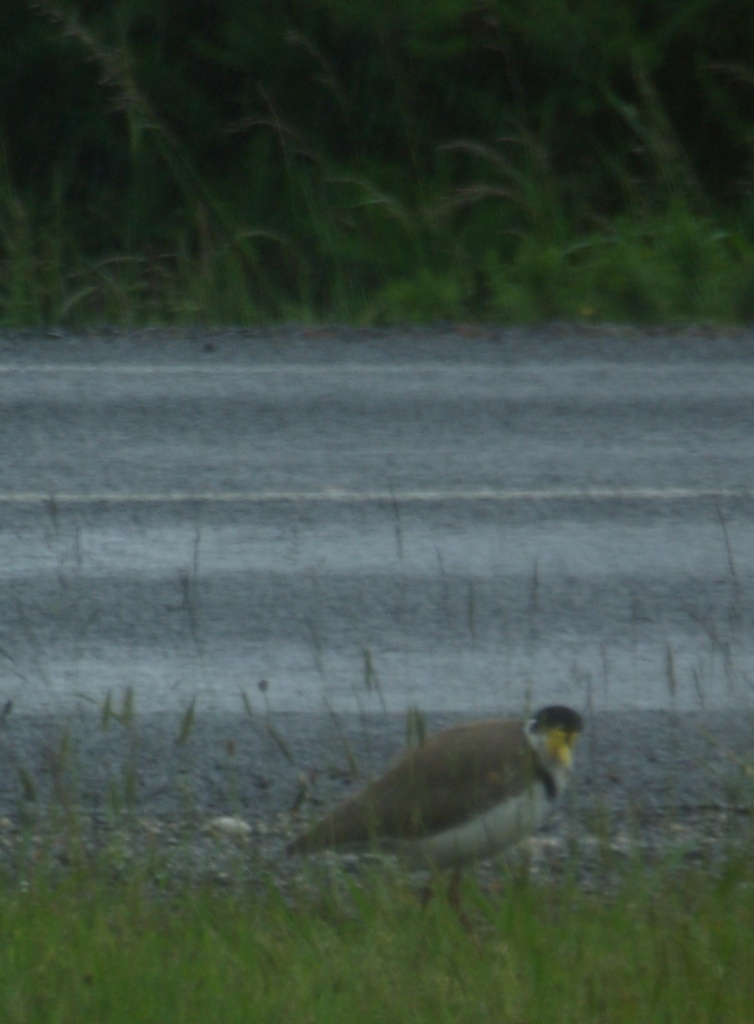 Plover (Masked Lapwing). They have no road sense.