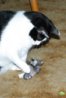 Polly playing with a catnip mouse.