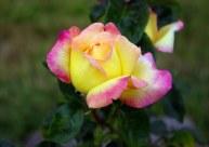 Budding rose, same bush.