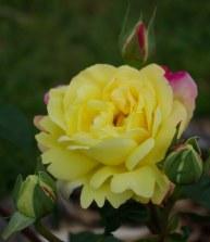 Rose and buds, same bush