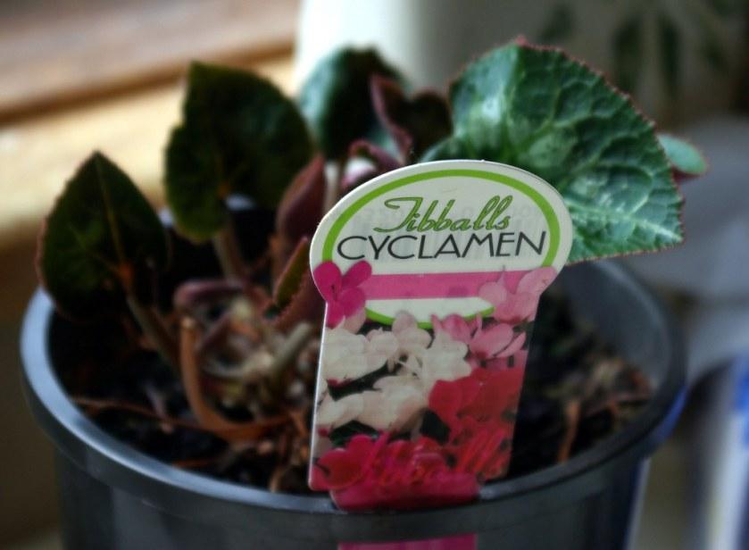 Last year's cyclamen plant.