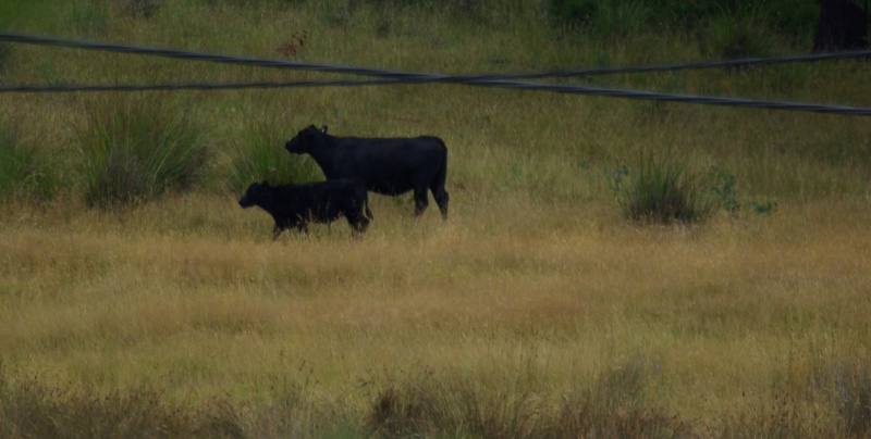 Black cattle not sure if they are for dairy or beef.