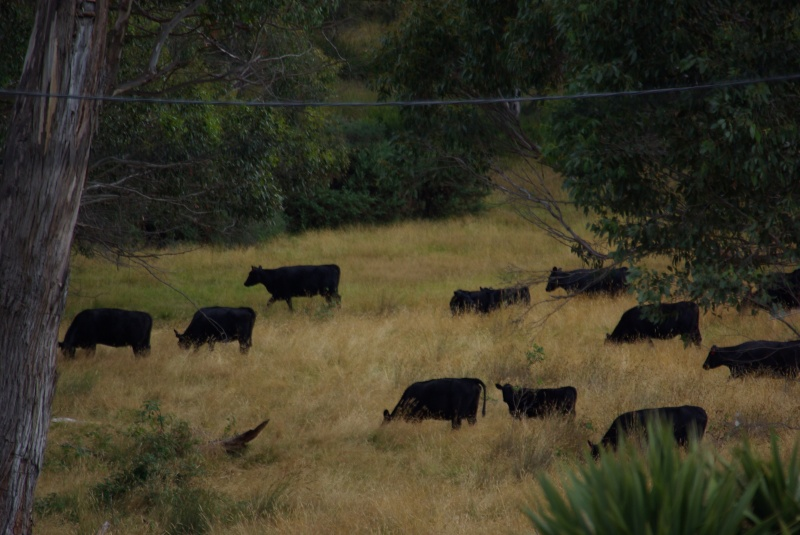 Herd of cows I can see from my back garden.