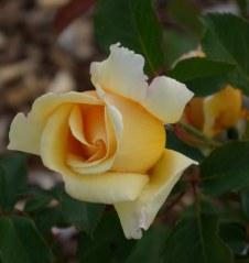 Bud on my new rose bush