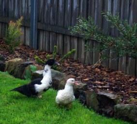 Visiting ducks in my garden.