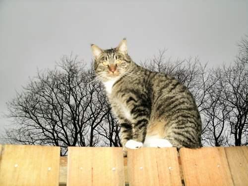 Tiger on fence