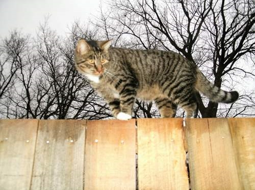Tiger walking the fence