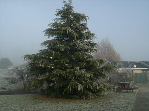 The Xmas Tree in the hospital grounds covered in frost