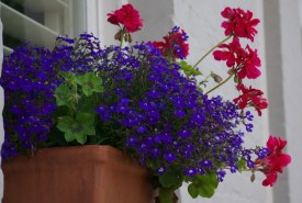 Geraniums and Lobelia