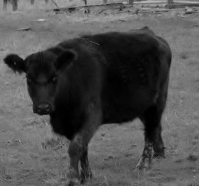 There are a lot of these black cattle around here. I am not sure if they are Angus or not.