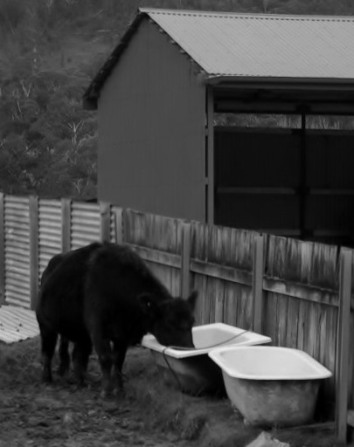 Cow drinking at a neighbours place..