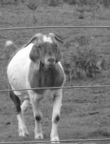 Goat on a friends' hobby farm.