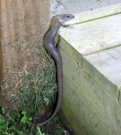A scaly visitor