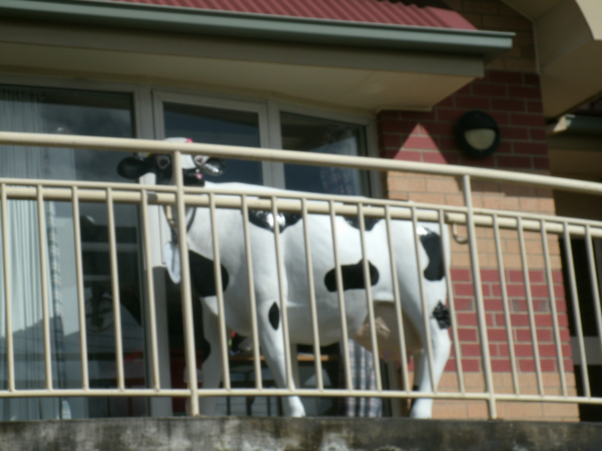 A Cow in a StrangePlace