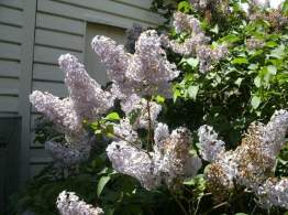 The Lilac is nearly finished but it was very pretty earlier this Spring