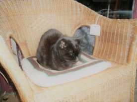 Wicker chair in an antique shop belonging to Cocoa the cat..