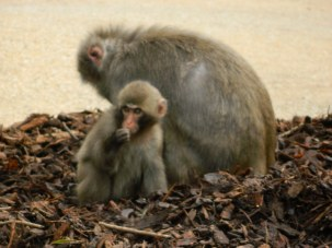 Japanese Macaque mother and baby