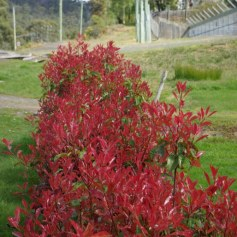 bush, dark red