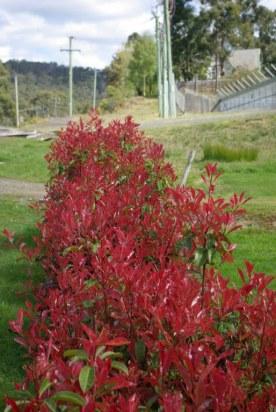 bush, dark red