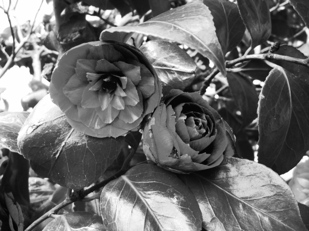 Cee's B&W Challenge :Flowers