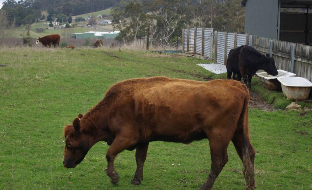 A Photo A Week Challenge:Livestock
