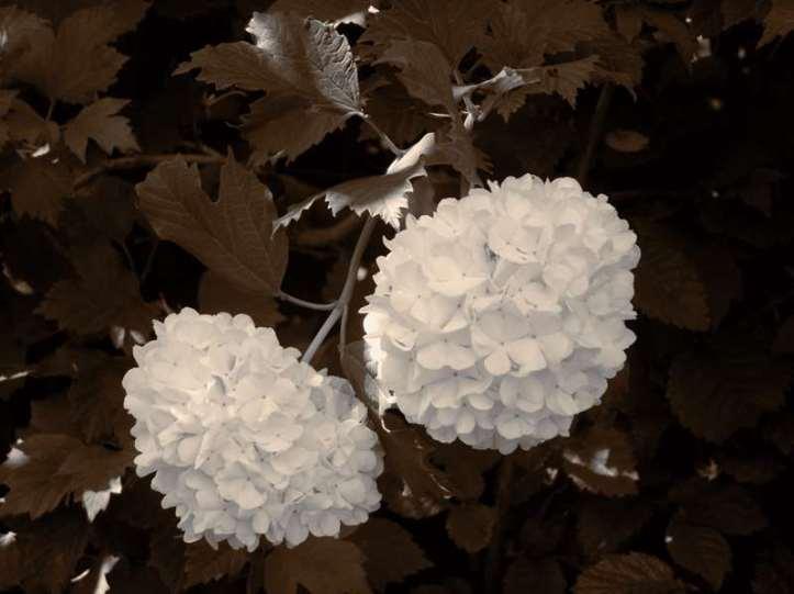 Pom Pom flowers 3