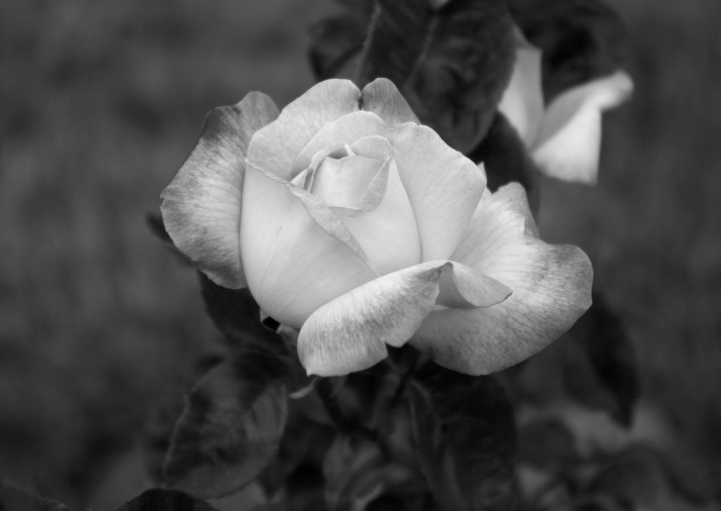 Cee's Black & White Photo Challenge: Flowers