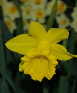 King Alfred daffodil