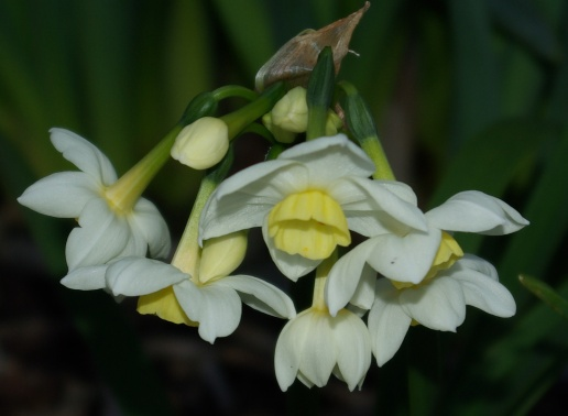 New jonquils