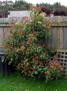 The lone Photinia