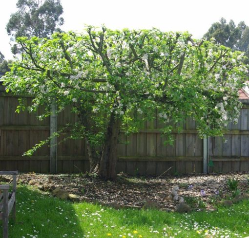 The apple tree October 2018