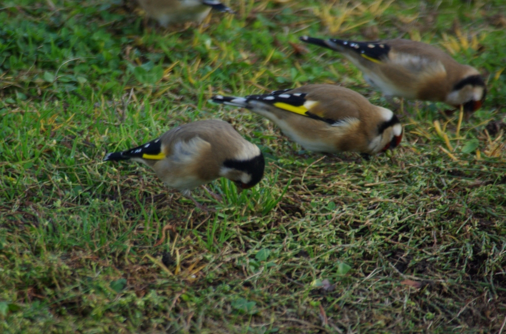 Garden Visitors: European Goldfinches