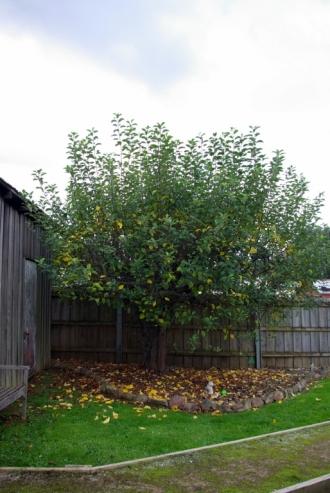 Apple Tree- May 2019