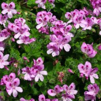 Snapshot Sunday: Happy to be a Geranium